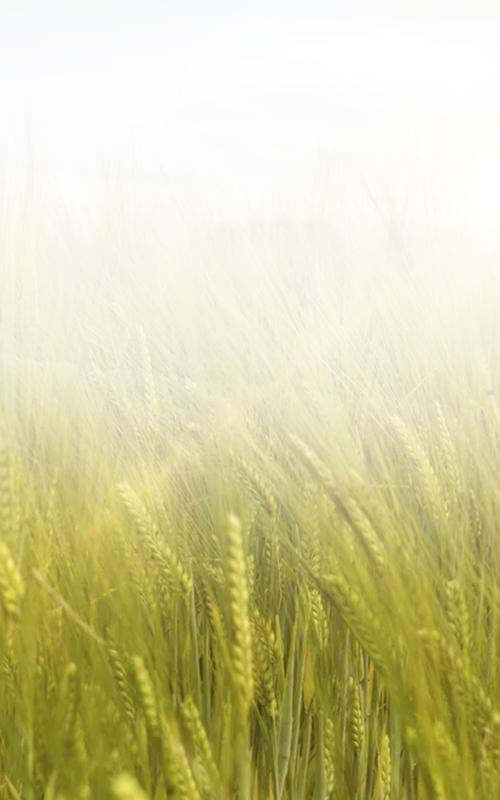 Fresh crops at sunrise mobile
